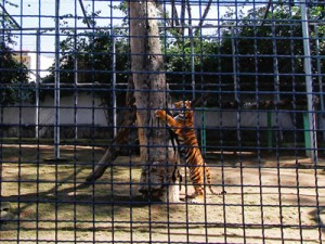 tigre-albert-300x225