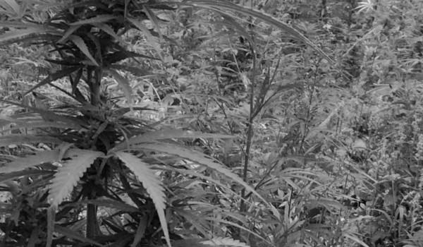 marihuana paraguay