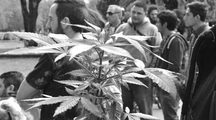marihuana planta