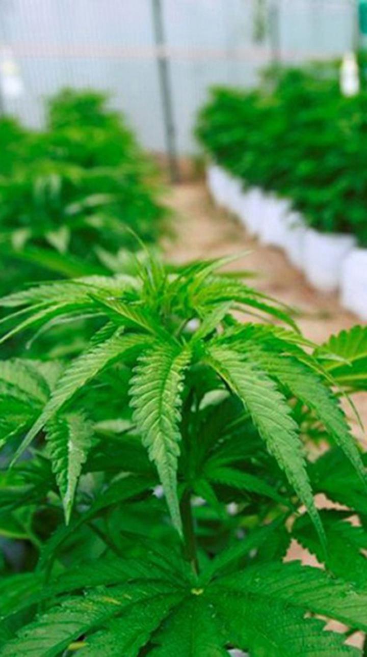 cannabis vertical