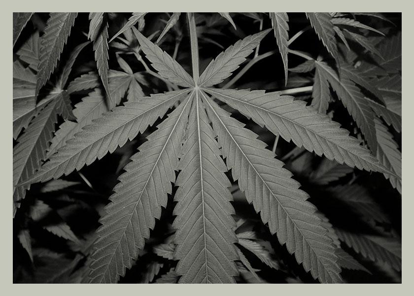 fotos-sitio-nuevo-marihuana