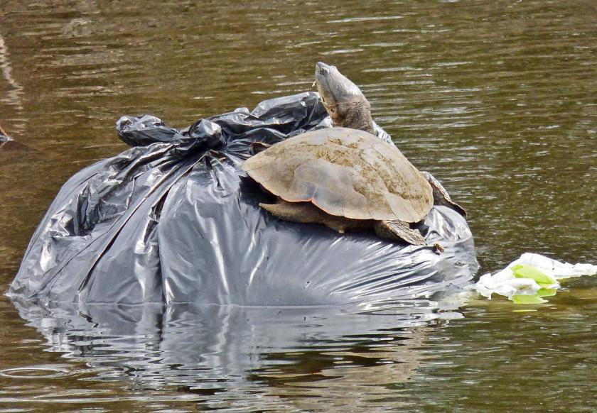 tortuga-bolsa-plastica-PH-Pablo-Capovilla